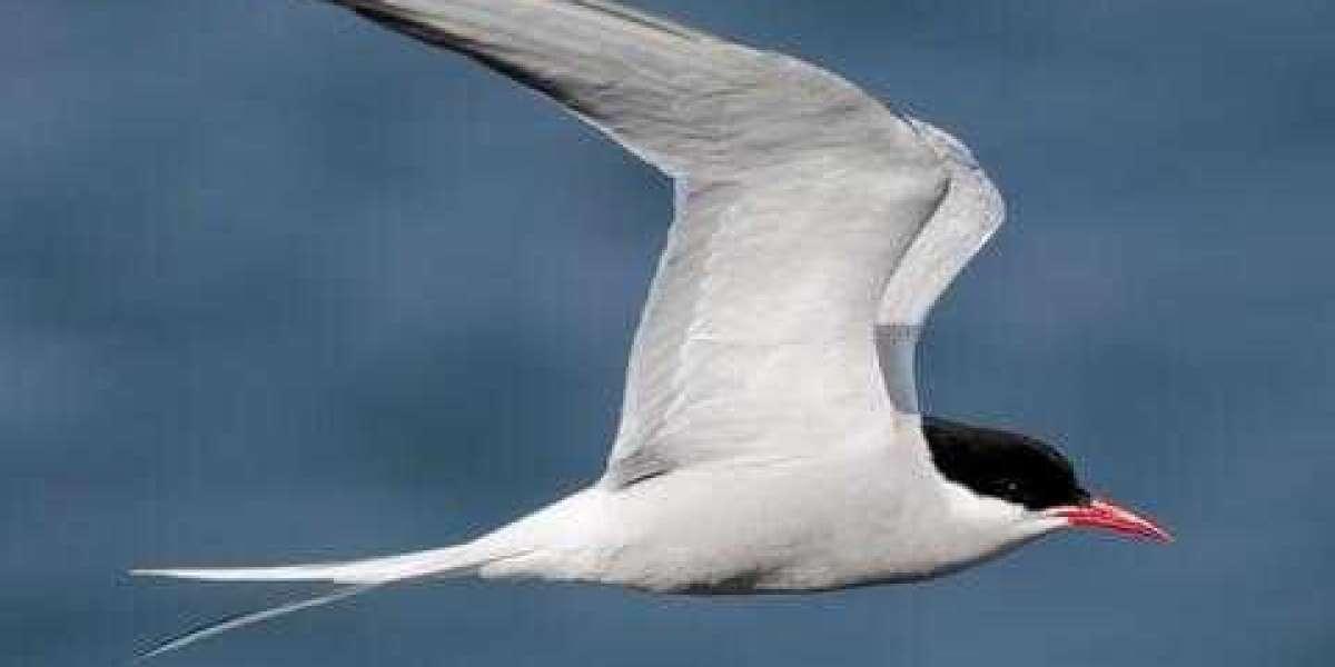 Migration pattern of farthest-migrating species